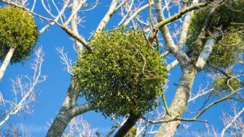 jmeli-je-sice-na-pohled-kouzelne-ale-jedna-se-vlastne-o-poloparazitickou-rostlinu-ktera-oslabuje-napadenou-drevinu-352x198.jpg