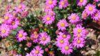 brachyscome-iberidifolia-vselicha-iberkolista-1-144x81.jpg