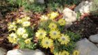 brachyscome-iberidifolia-vselicha-iberkolista-144x81.jpg