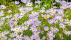 brachyscome-iberidifolia-vselicha-iberkolista-2-144x81.jpg