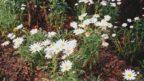 brachyscome-iberidifolia-vselicha-iberkolista-3-144x81.jpg