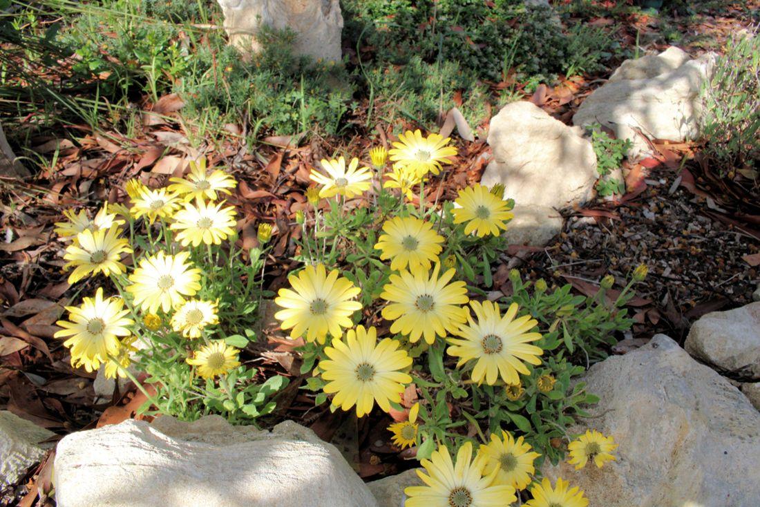brachyscome-iberidifolia-vselicha-iberkolista.jpg