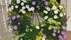 brachyscome-iberidifolia-vselicha-iberkolista1-144x81.jpg