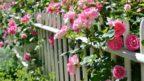 rose-144x81.jpg