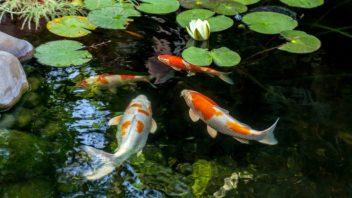 ryby-v-zahradnim-jezirku-352x198.jpg