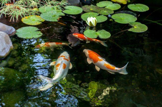 ryby-v-zahradnim-jezirku-618x410.jpg