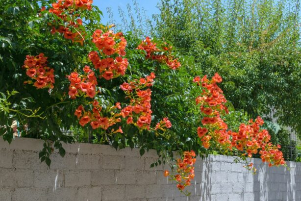 trubac_campsis-grandiflora_shutterstock_1462073201-614x410.jpg