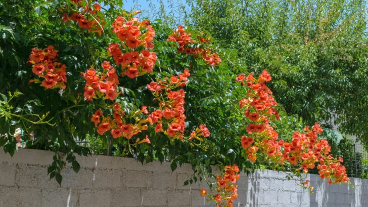 trubac_campsis-grandiflora_shutterstock_1462073201-728x409.jpg