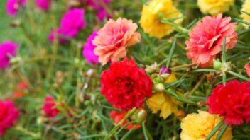 srucha-_portulaca-grandiflora_shutterstock_145923908-352x198.jpg