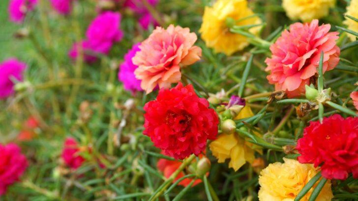 srucha-_portulaca-grandiflora_shutterstock_145923908-728x409.jpg