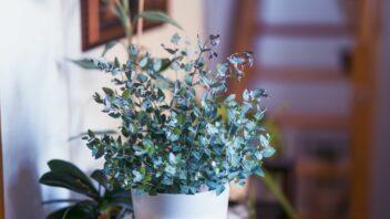 eukalyptus_shutterstock_1665589723-352x198.jpg