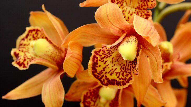 oranzova-orchidej-728x409.jpg