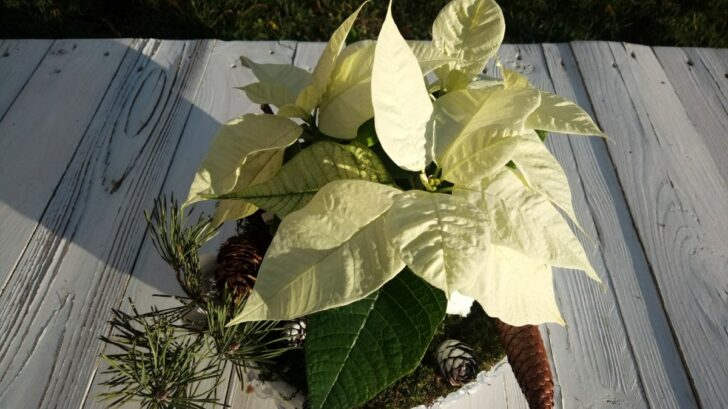 08_trivyhonova-poinsettia-je-pro-vyzdobu-ledove-misky-idealni-kvetina.-728x409.jpg