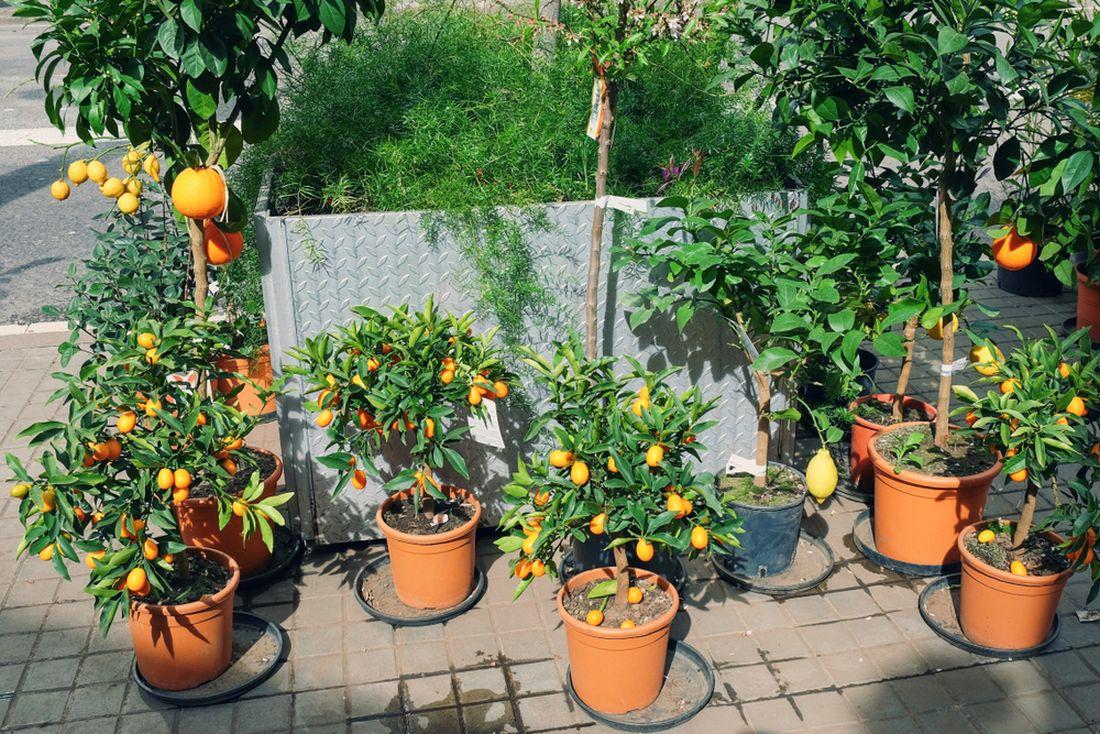 pěstování pomerančů