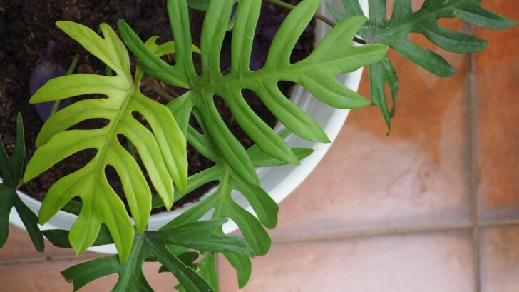 philodendron-728x409.jpg