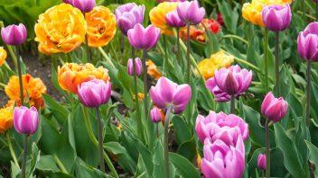 shutterstock_1918185443_tulip-352x198.jpg