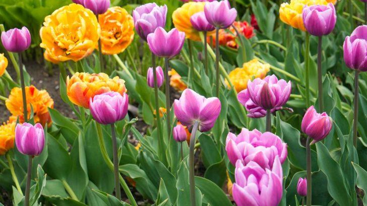 shutterstock_1918185443_tulip-728x409.jpg